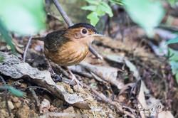 Brown-capped Babbler