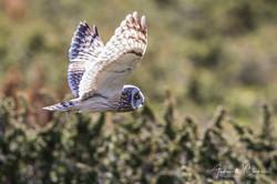 Short-eared Owl / Jordugle
