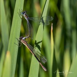 Common Spreadwing