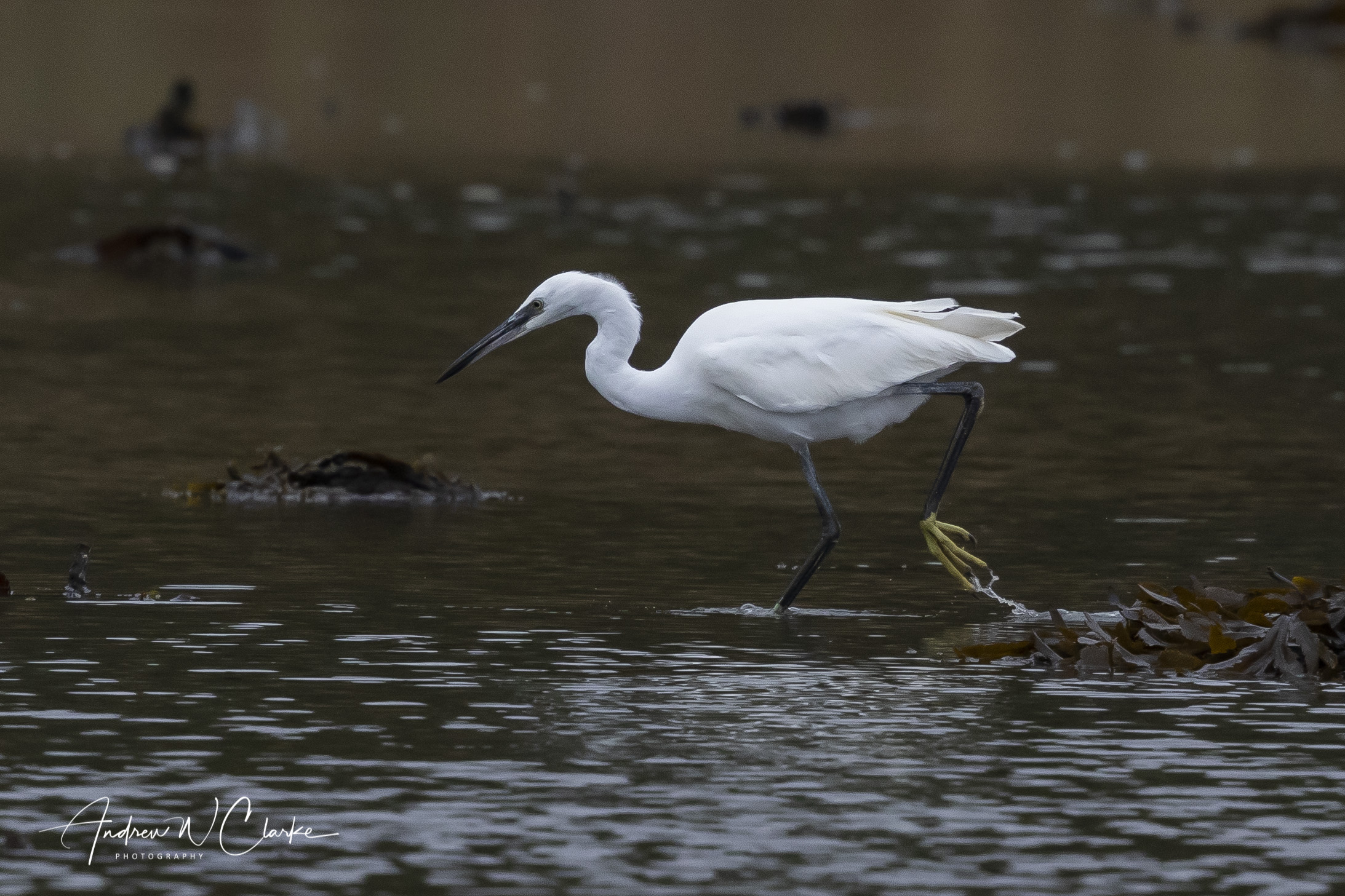 Little Egret / Silkehegre