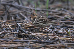 Red-throated Pipit / Lappiplerke