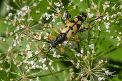 Spotted Longhorn Beetle