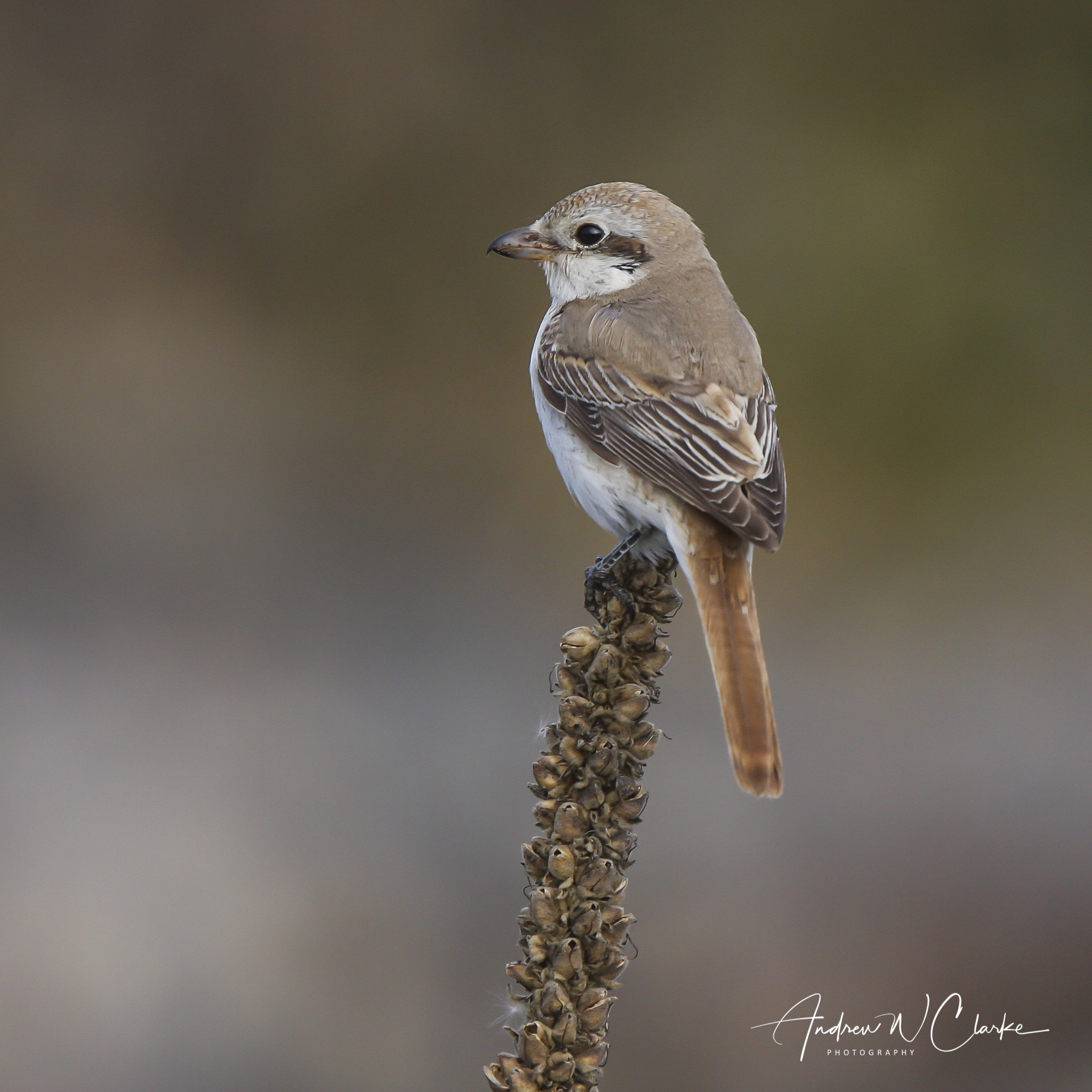 Red-tailed Shrike / Rødhalevarsler