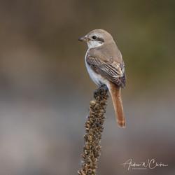 Red-tailed Shrike / Rødhalevarsler