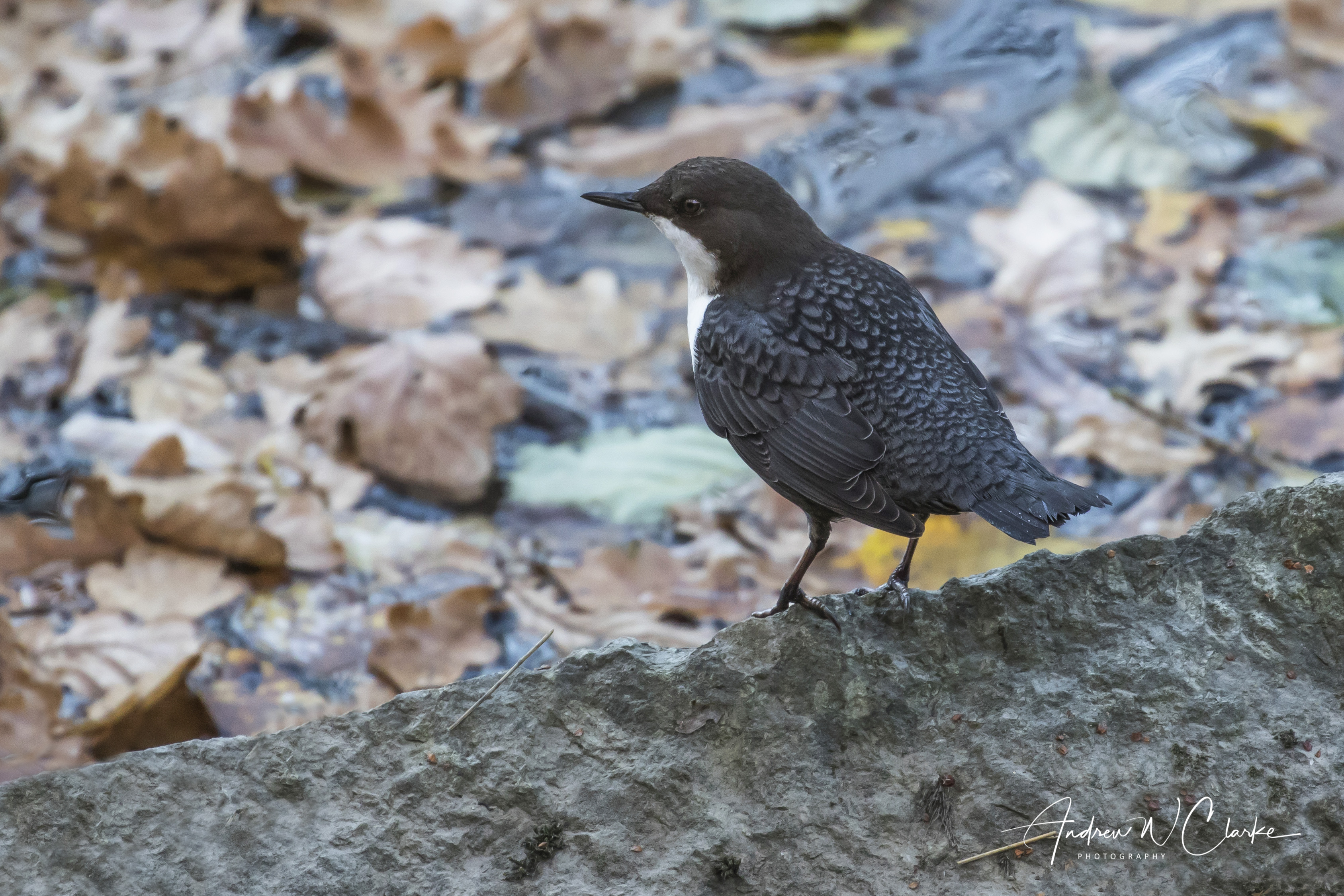White-throated Dipper / Fossekall