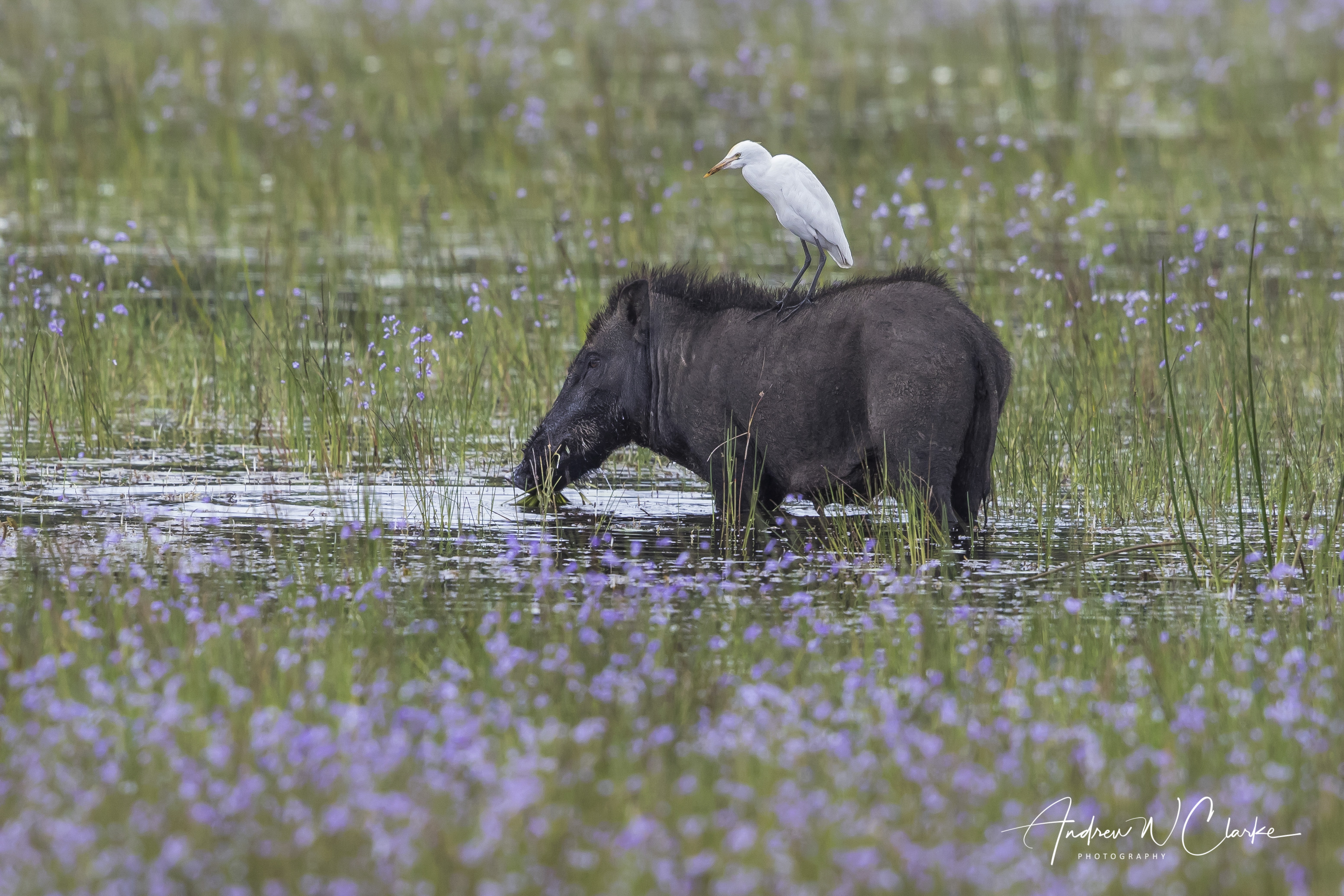 Wild Boar (with Cattle Egret)