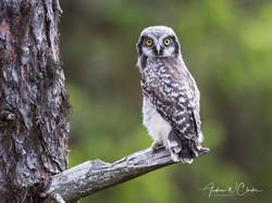 Northern Hawk Owl / Haukugle