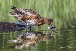 Eurasian Wigeon / Brunnakke