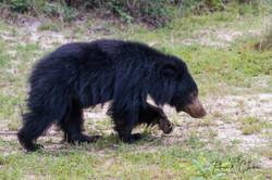 Sloath Bear