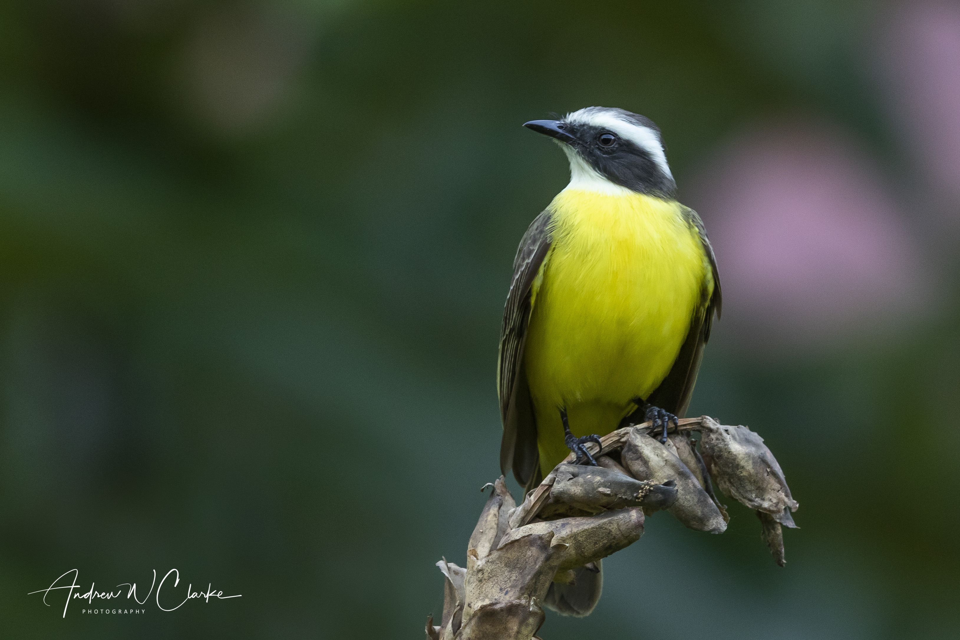 White-ringed Flycatcher
