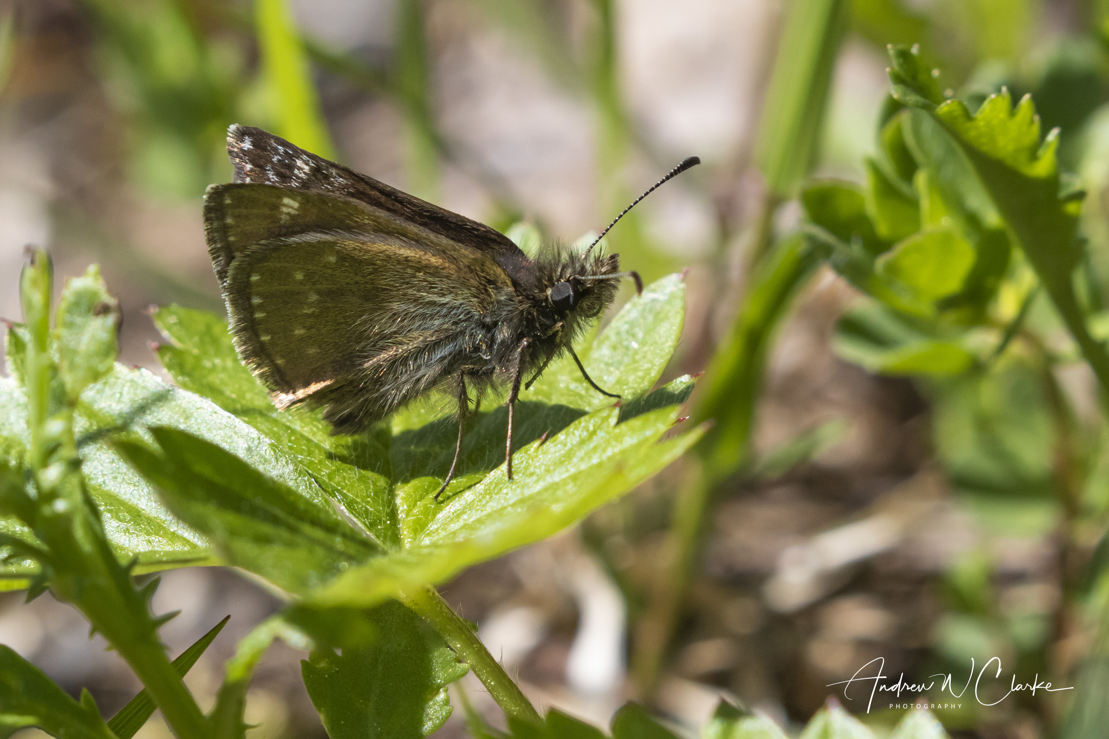 Dingy Skipper