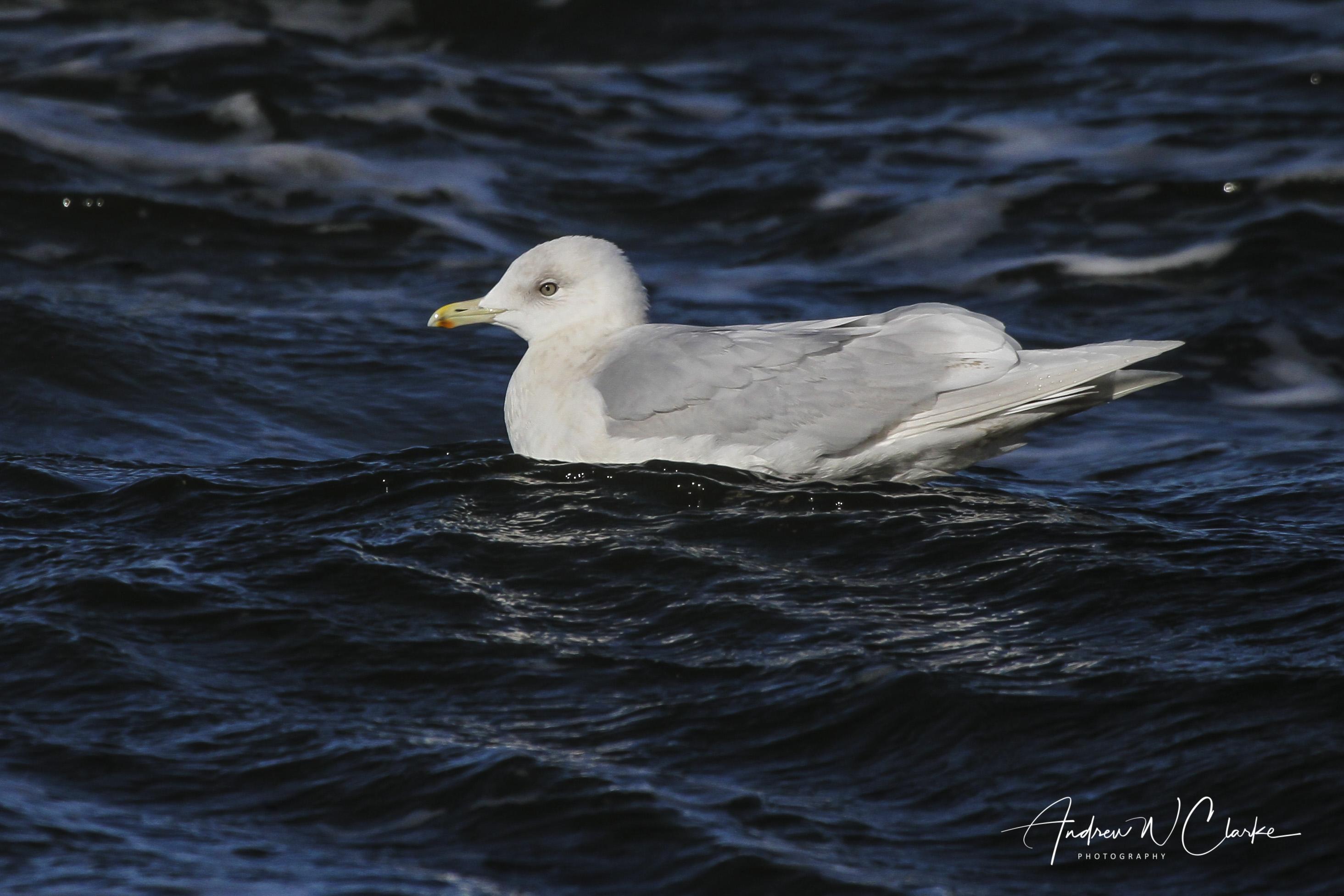 Iceland Gull / Grønnlandsmåke