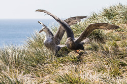 Northern & Southern Giant Petrel