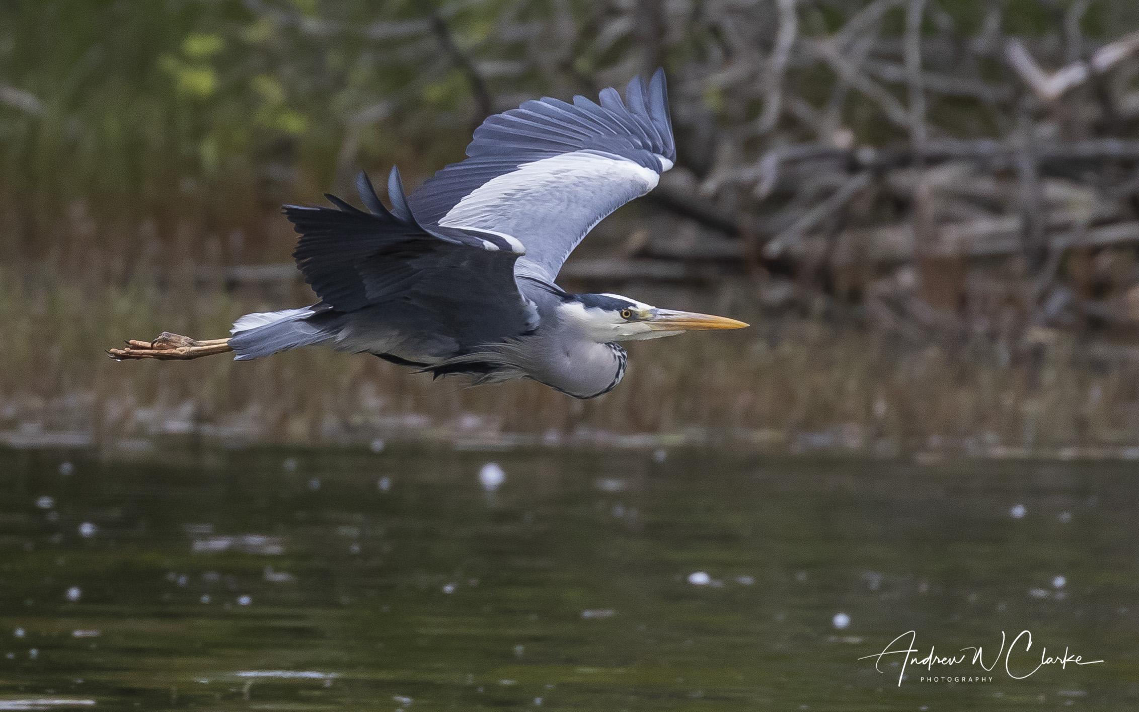 Grey Heron / Gråhegre