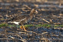 Greater White-fronted Goose / Tundragås
