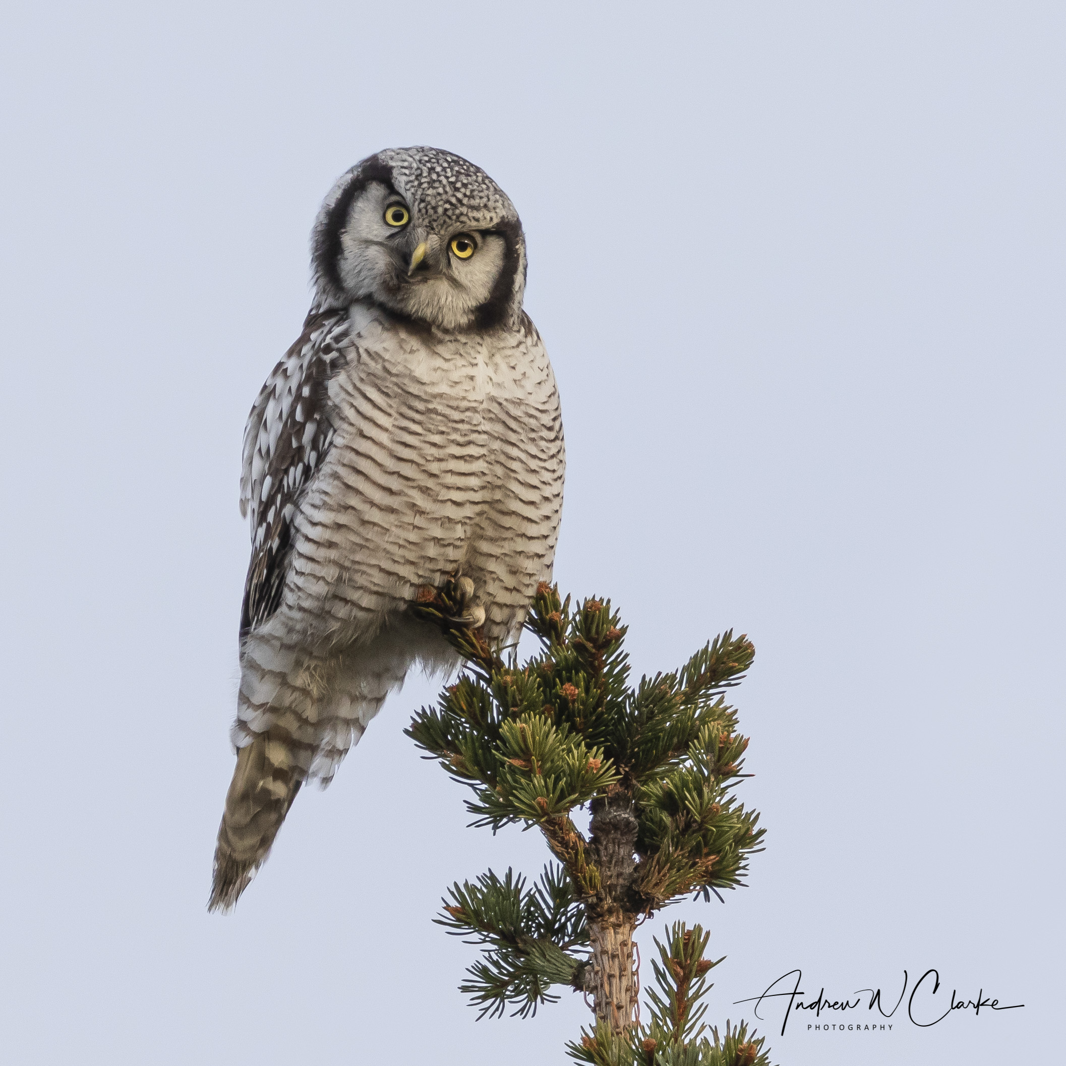 Northern Hawk Owl / Haukugle