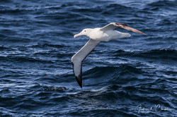 (Southern) Royal Albatross