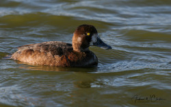 Greater Scaup / Bergand