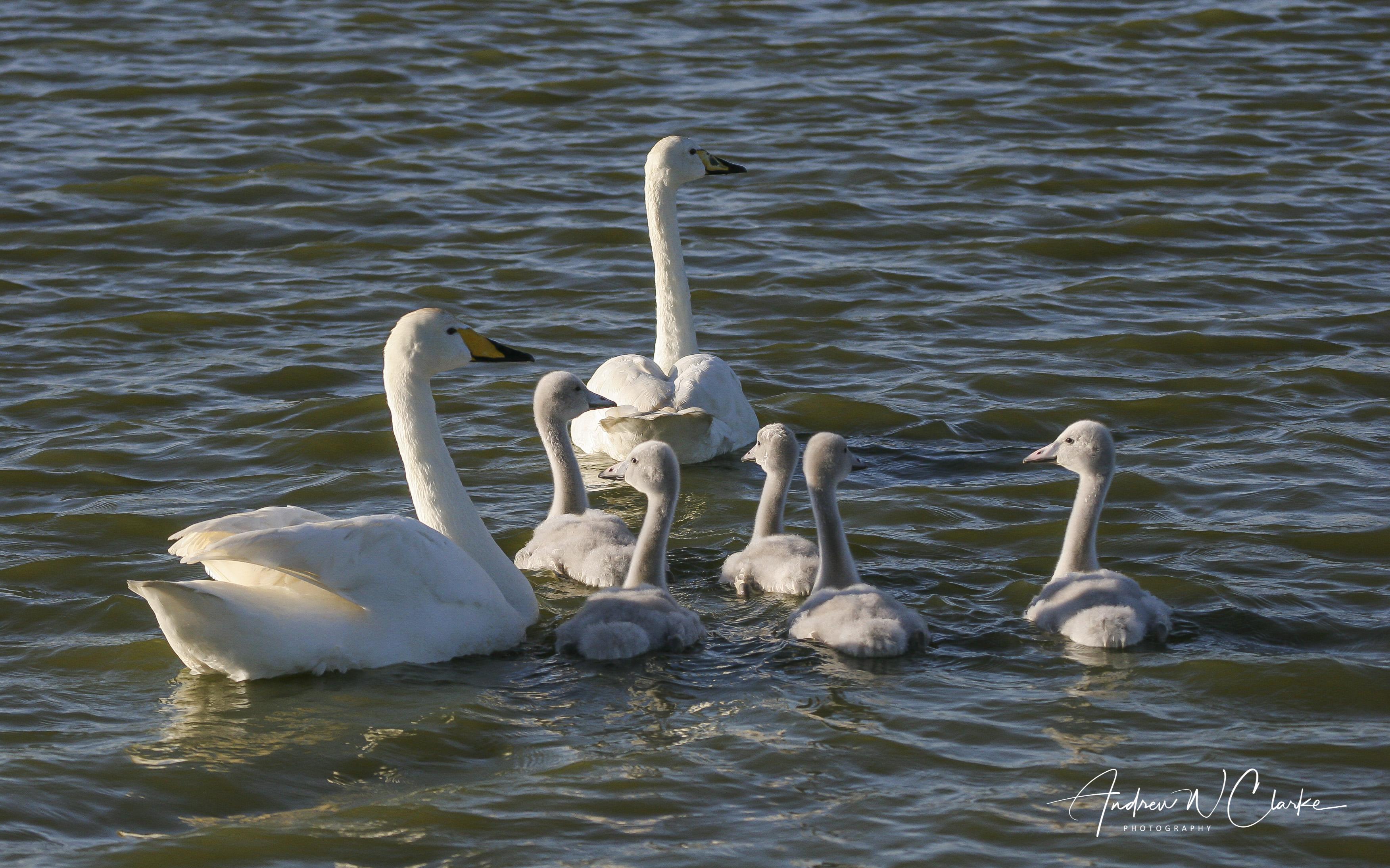 Whooper Swan / Sangsvane