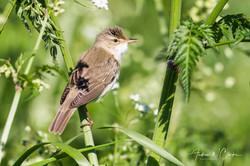 Marsh Warbler / Myrsanger