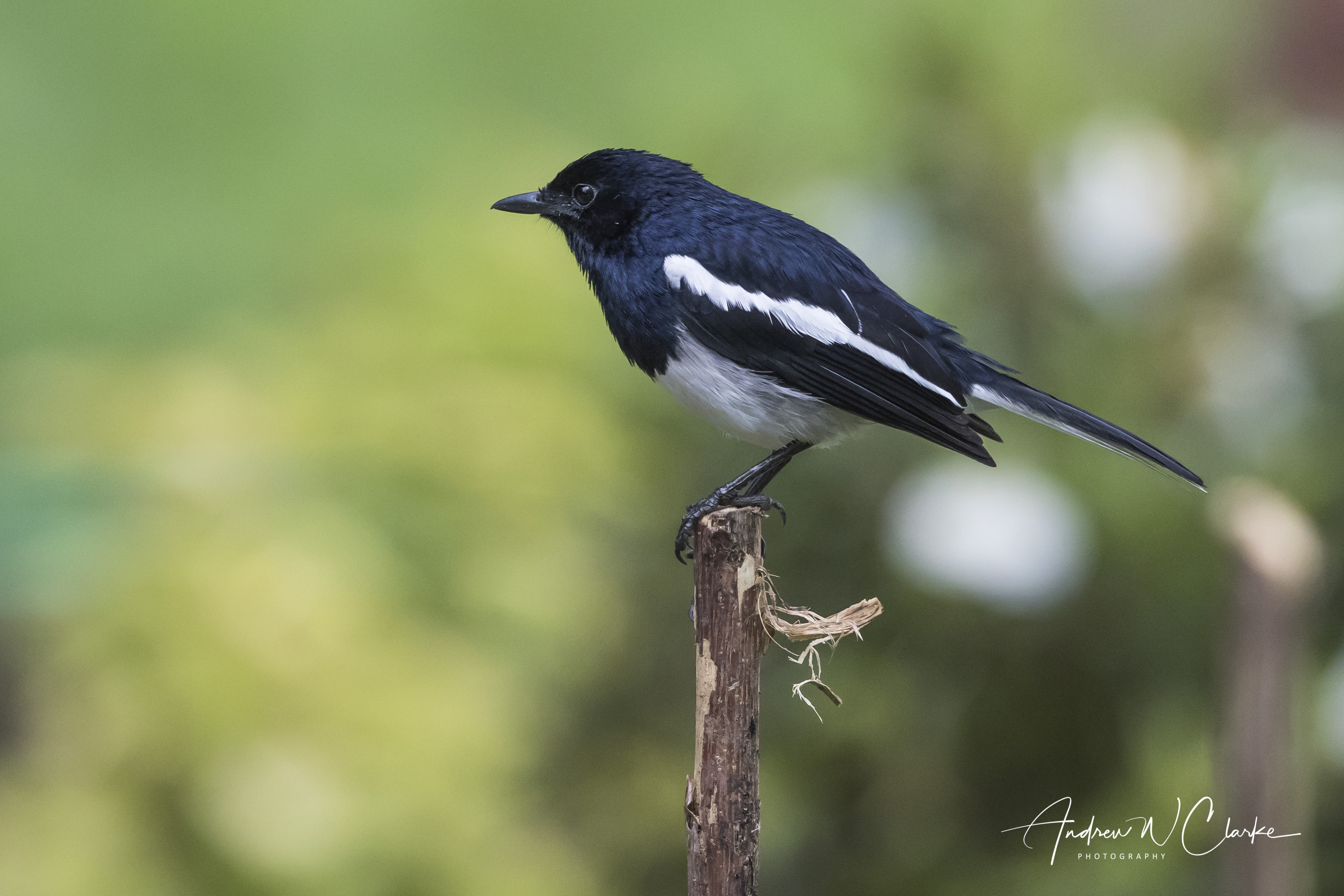 Oriental Magpie-Robin