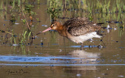 Black-tailed Godwit / Svarthalespove