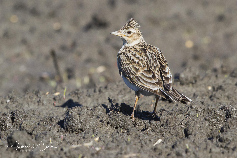 Eurasian Skylark / Sanglerke