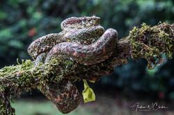 Eyelash Palm Pit Viper