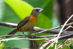 Scarlet-rumped (Cherrie's) Tanager