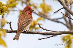Common Rosefinch / Rosenfink