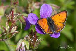 Purple-edged Copper