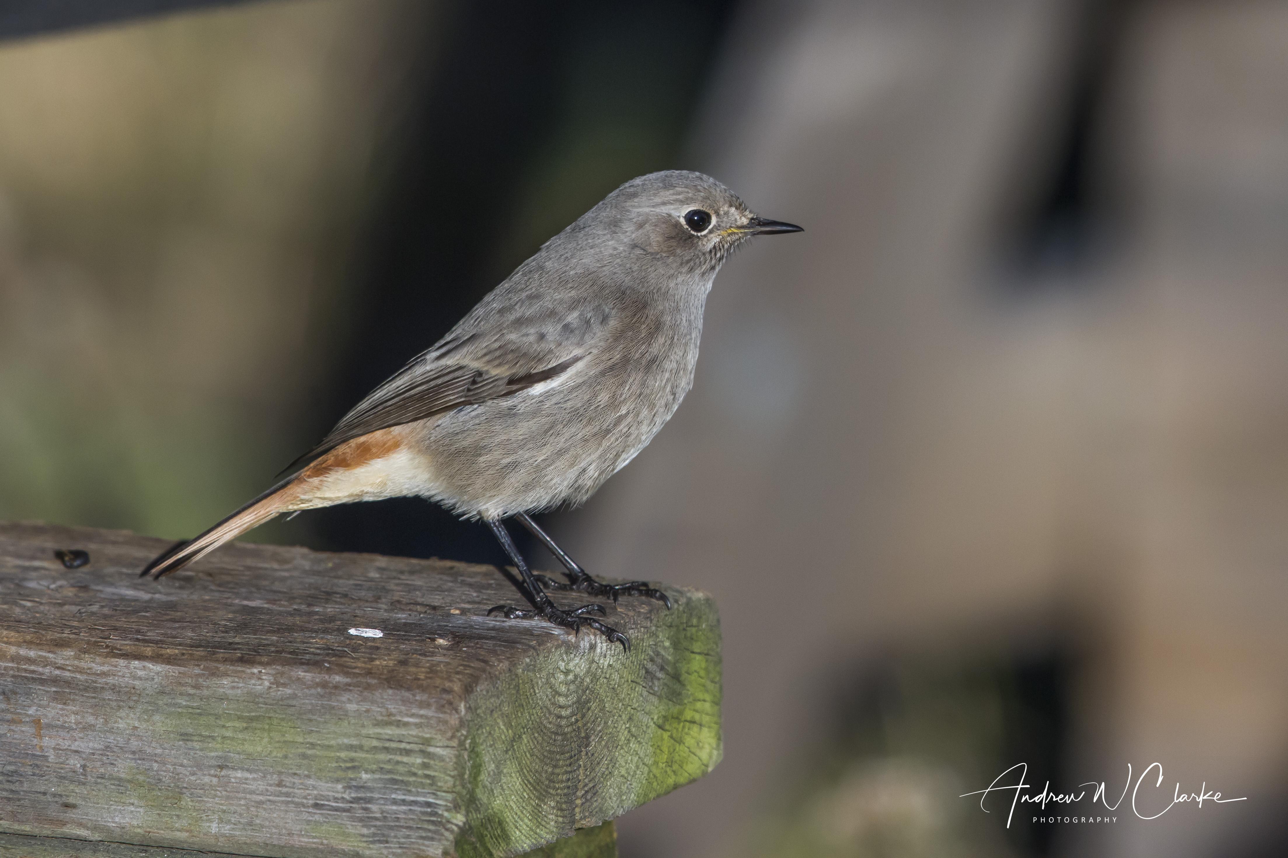 Black Redstart / Svartrødstjert