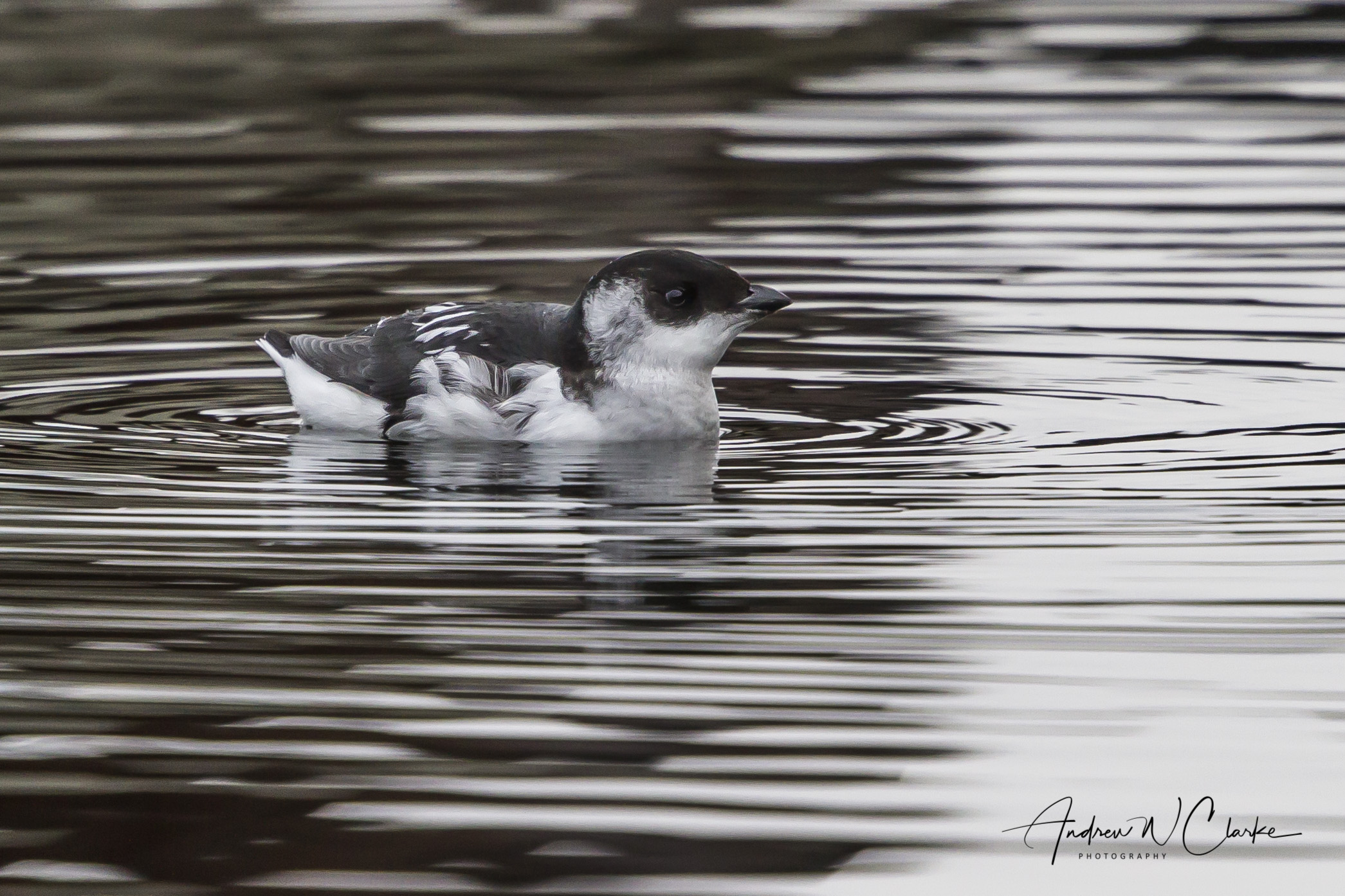 Little Auk / Alkekonge