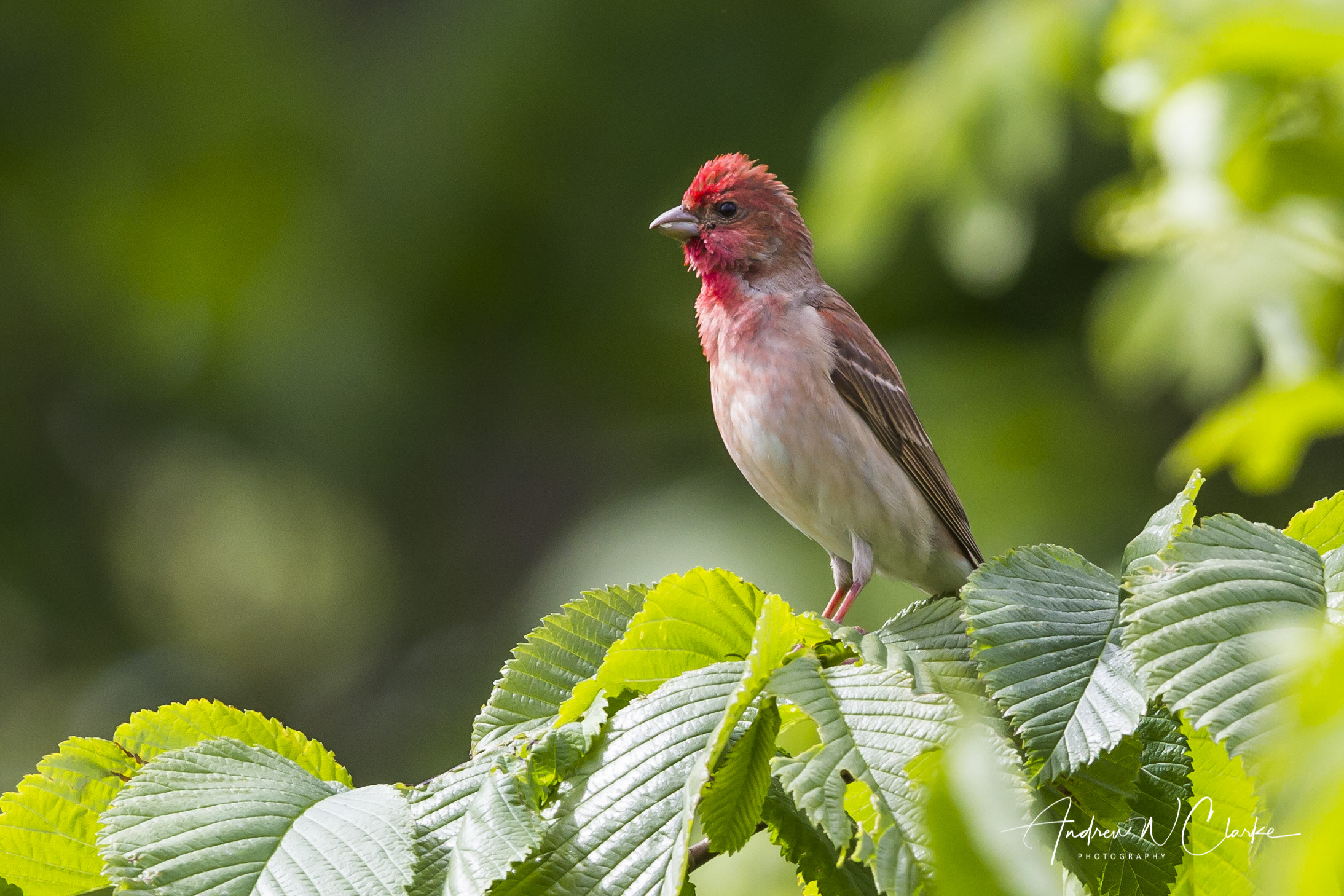 Common Rosefinch / Rosenfink