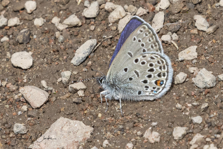 Cranberry Blue