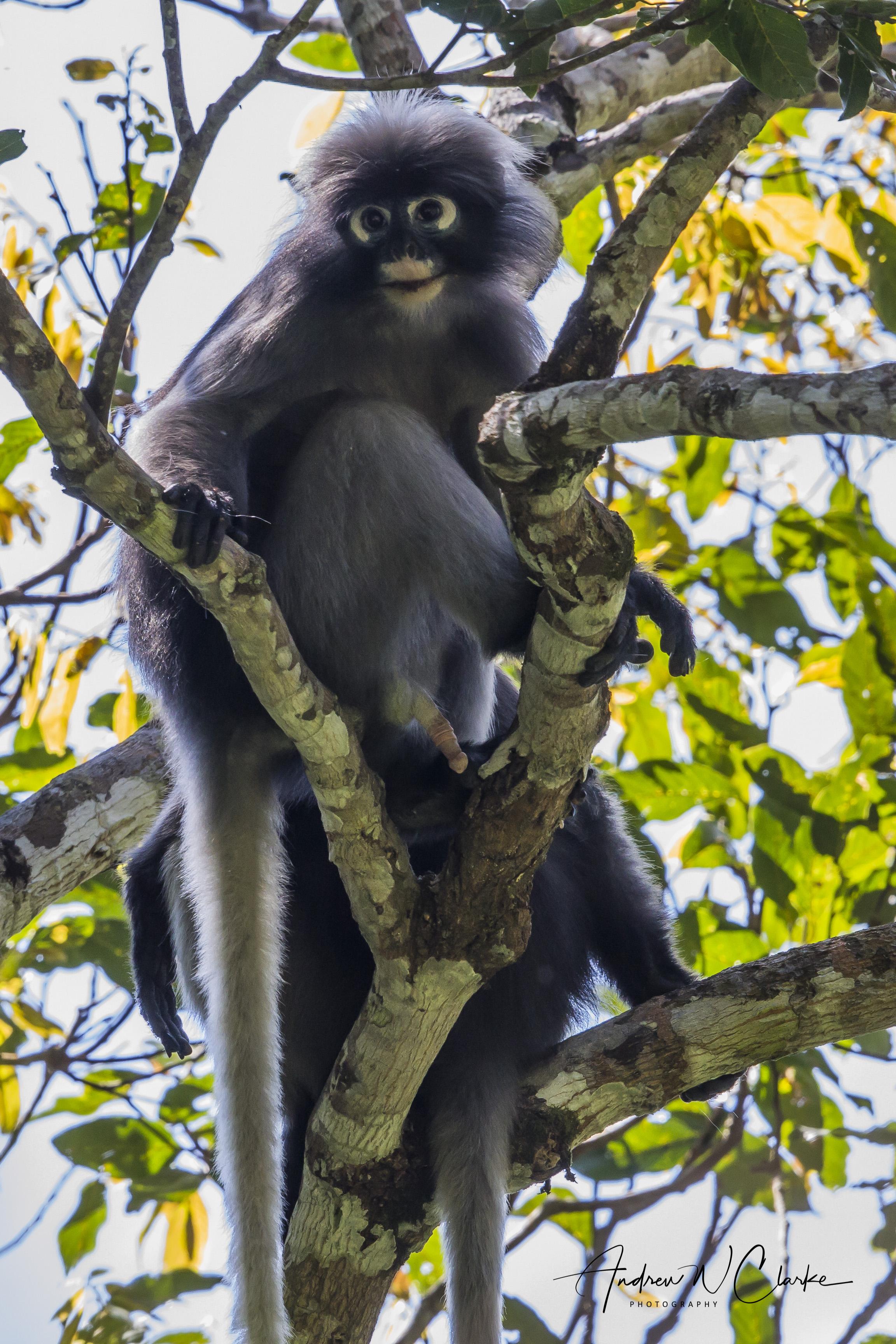 Dusky Leaf-monkey