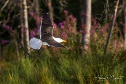 Lesser Black-backed Gull / Sildemåke