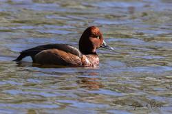 Ferruginous Duck / Hvitøyeand