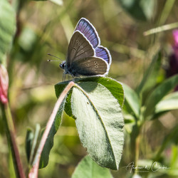 Mazarine Blue