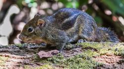 Indochinese Ground Squirrel