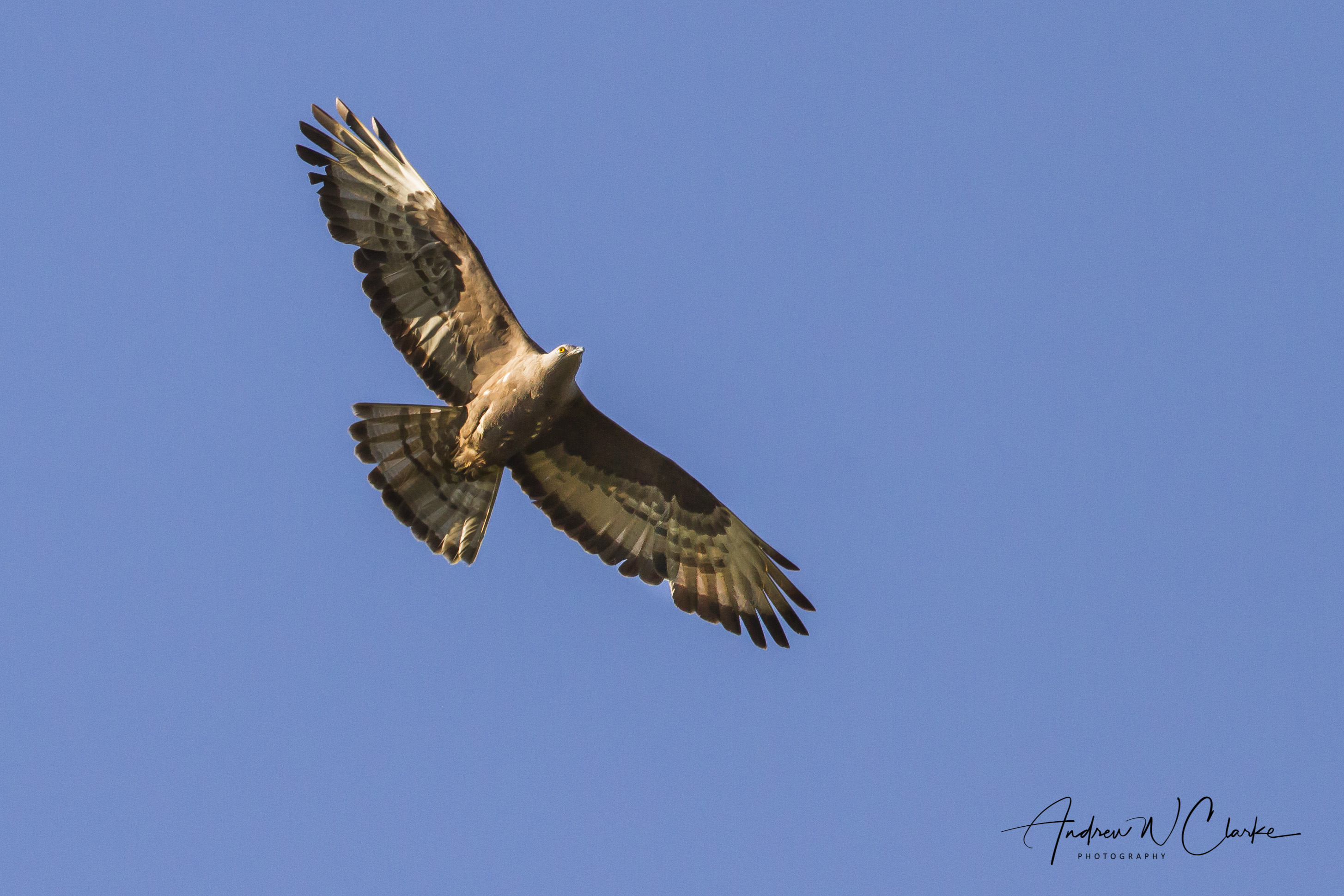European Honey-buzzard / Vepsevåk