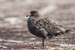 Brown (Falkland) Skua