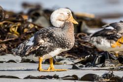 Falkland Steamer-Duck