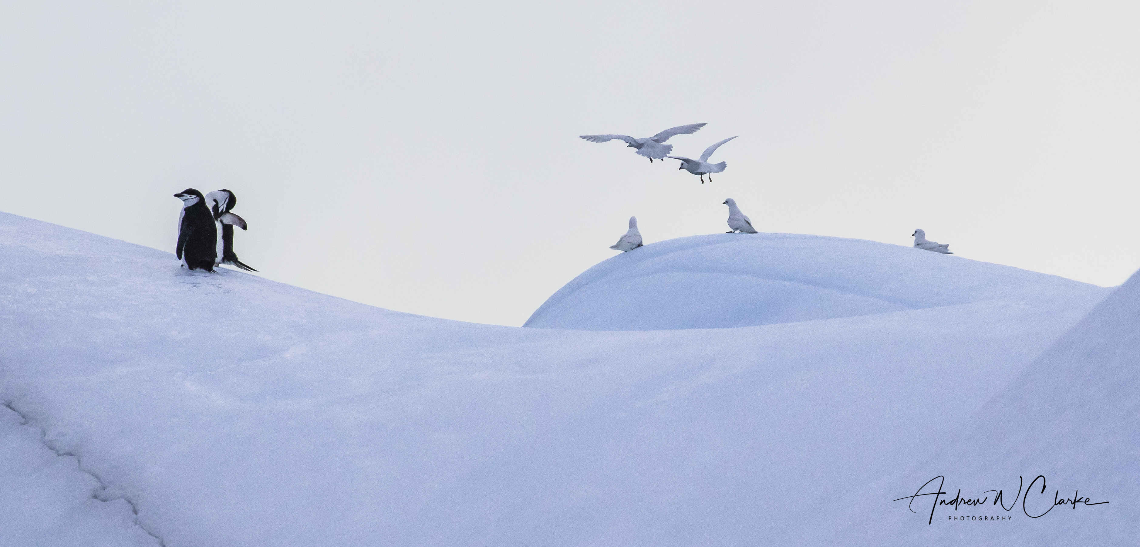 Chinstrap Penguin & Snow Petrel