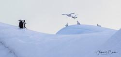 Snow Petrel & Chinstrap Penguin