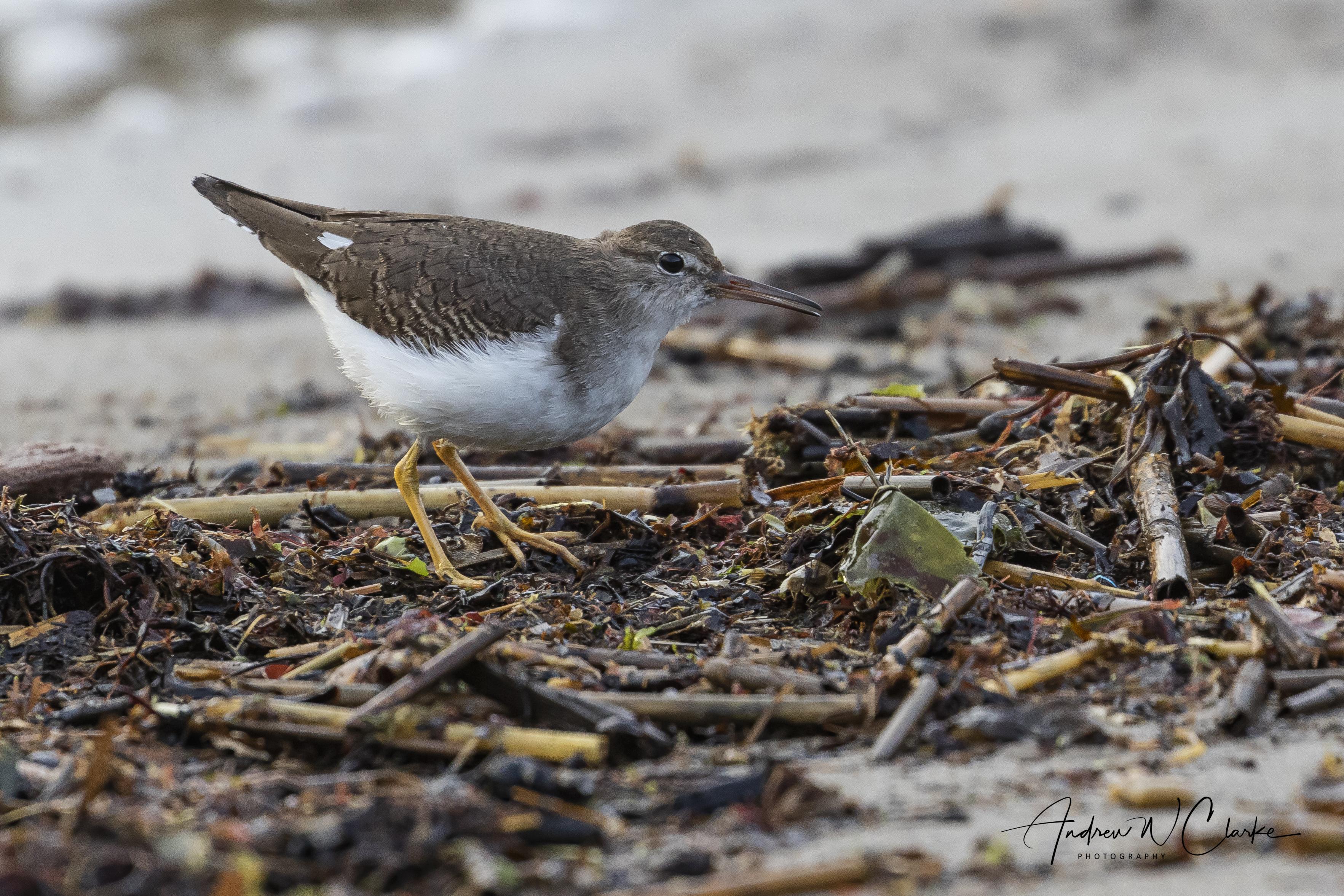 Spotted Sandpiper / Flekksnipe