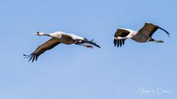 Common Crane / Trane