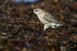 Black-bellied Plover / Tundralo