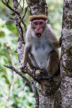 'Highland' Toque Macaque