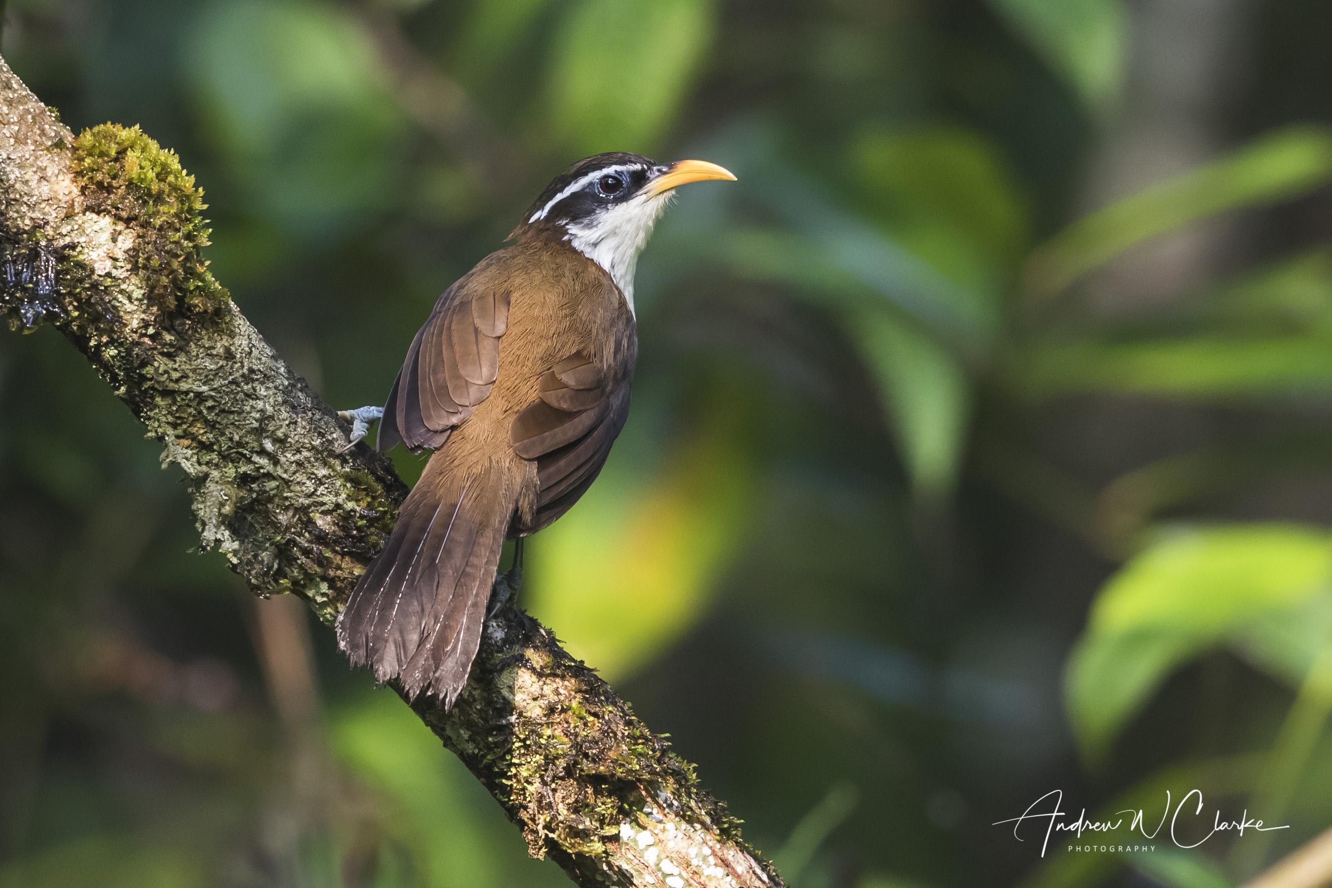 Sri Lanka Scimitar-Babbler